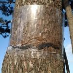 Cierre, cauterización y protección de herida transversal en tronco, ocasionada por procesionaria, de pino 1